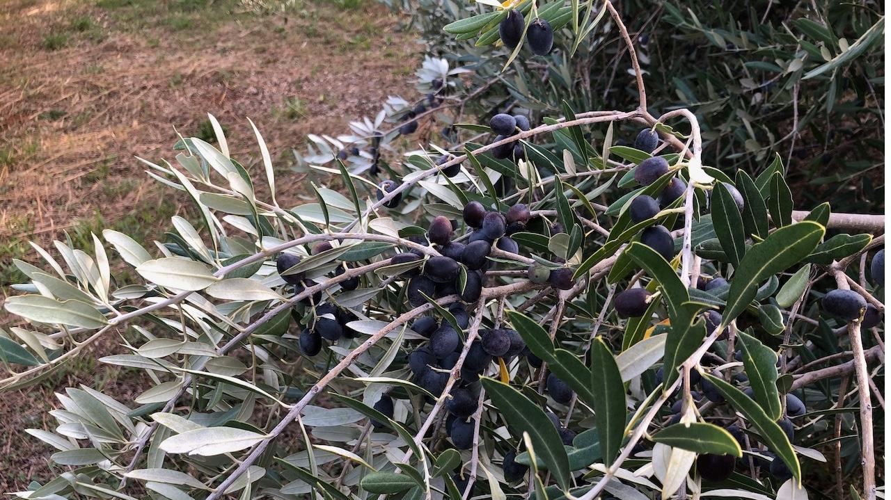 Land with olive trees for sale on Hvar Island